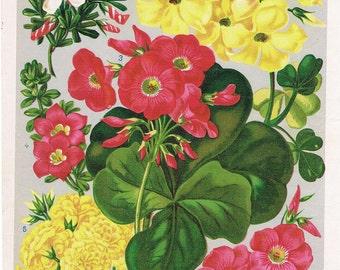 1890s Vintage Botanical Print of Winter Blooming Oxalis