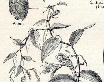 Antique Print of Tea - Cola - Grape Vine - Betel Nut Palm - Vanilla - Stimulant Plants - 1895 Vintage Print
