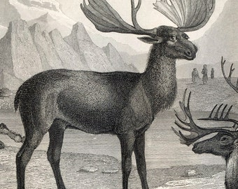 1851 Antique Steel Engraving of Reindeer, Buffalo, Llama, and other Hoofed Animals. Plate 109