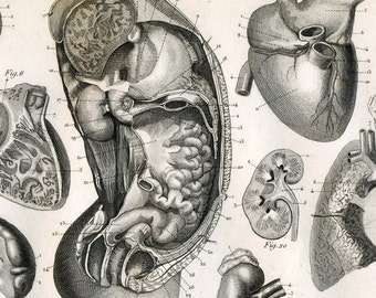 1851 Antique Steel Engraving of the Digestive Organs. Plate 130