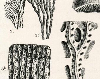 1875 Antique Paleontology Lithograph of Devonian Fossils