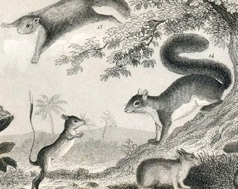 1860 Antique Steel Engraving of Squirrels, Guinea Pigs, Mice, Rats, and Other Animals