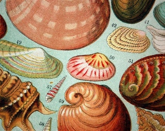 1893 Antique Print of British Sea Shells