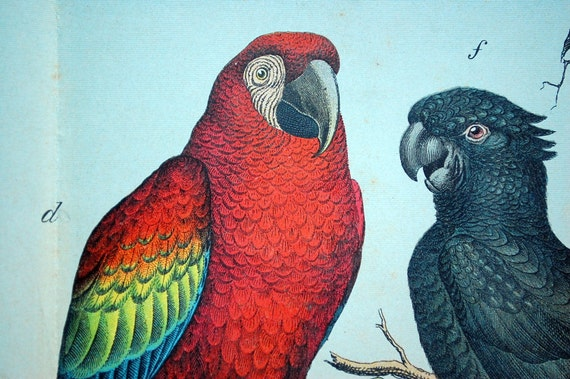 1886 Stunning Large Antique Double Plate Chromolithograph of Parrots and Shrikes