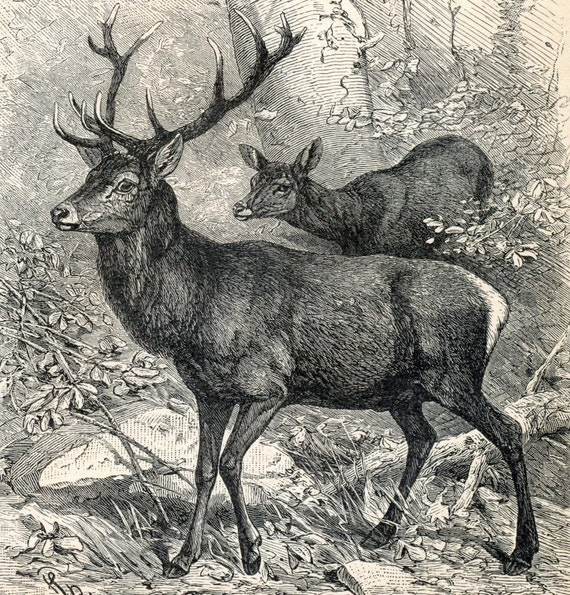 1894 German Antique Engraving of Deer