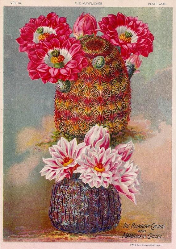 1890s Gorgeous Antique Chromolithograph of Rainbow Cactus and Mammillaria Childsi