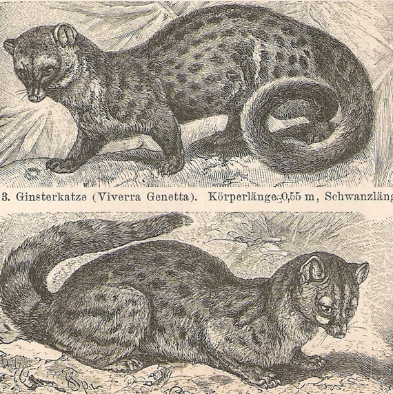 1894 German Antique Engraving of Civets, Mongoose, Fossa, and Genet