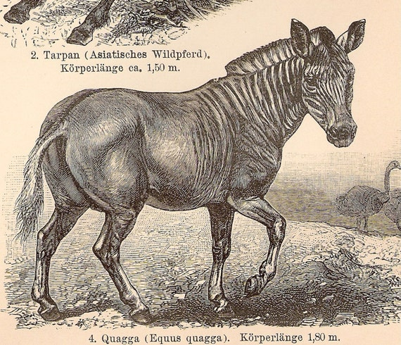 1894 German Antique Engraving of Horses and Asses