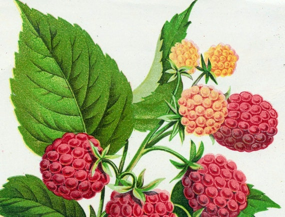 1890 Very Rare Luscious Antique Chromolithograph of Cuthbert Raspberries