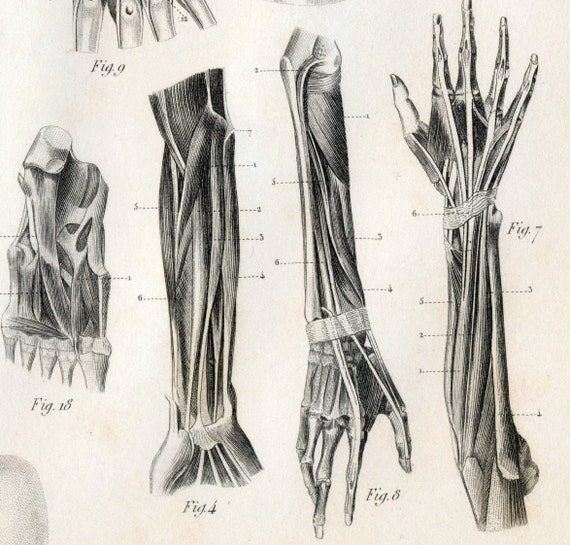1851 Antique Steel Engraving on the Anatomy of Muscles. Plate 128