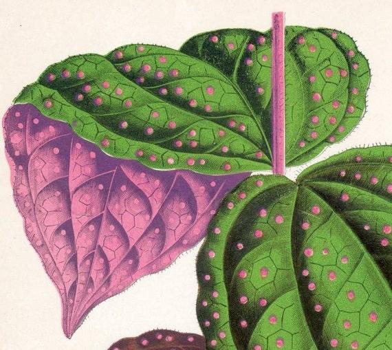 1891 English Vintage Botanical Print of Beautiful Leaved Plants by Shirley Hibberd. Bertolonia guttata - Chromolithograph