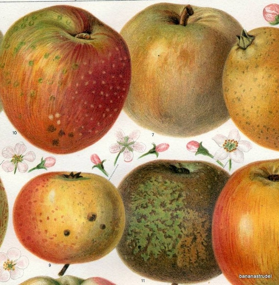 1895 Antique Brilliantly Coloured Chromolithograph of Types of Apples