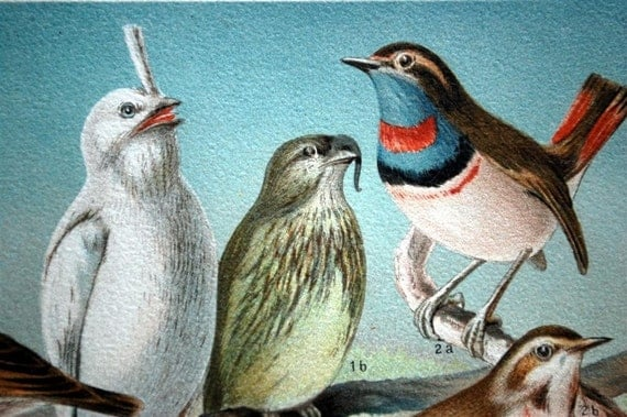 1895   Brilliantly Coloured Chromolithograph Plate of Birds. Fine-feathered Friends.