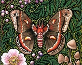 Cecropia Moth Art Print Reproduction