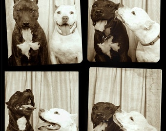 Pit Bulls in Photo Booth #1-11x14