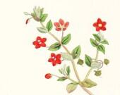1880 Scarlet Pimpernel . Antique Botanical Print (Anagallis arvensis) . original hand coloured engraving