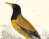 Antique Black Headed Oriole, Black Cheeked Oriole Print . Bird Plate  XVIII Circa 1850 . original vintage old ornithology art illustration