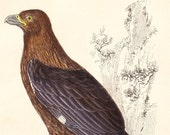 Antique New Zealand Caracara Print . Vintage Bird Plate  XX Circa 1850 . original engraving