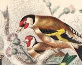 1866 GARDEN BIRD PRINT (GOLDFINCH, SISKIN, REED BUNTING) - GOLDSMITH ORIGINAL HAND COLOURED ENGRAVING ART