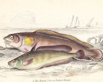 Torsk, great forked beard print . first edition Jardine vol II - original engraving dated 1843 old vintage fish plate