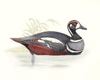 Harlequin Duck . Antique Bird Print Vol V . original woodblock art dated 1897 old vintage ornithology plate