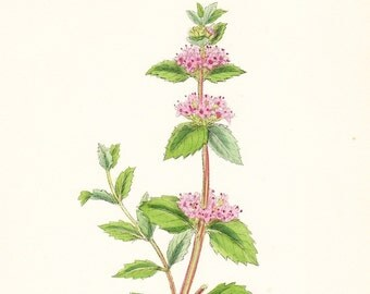 Tall Red Mint (Mentha rubra) Antique Print . Dated 1880 . original herb  engraving old vintage botanical illustration chart plate art