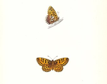 Antique Butterfly Print . Weaver's Fritillary plate XLVIII . first edition hand coloured woodblock art dated 1853, plate 48