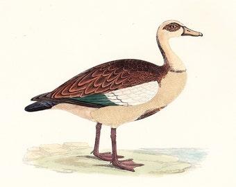 Egyptian Goose . Antique Bird Print . original vintage woodblock art plate . Vol. V dated 1897