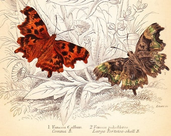 Comma Butterfly, Large Tortoiseshell . Antique Print . original engraving plate 17 . british butterflies art dated 1835 . old vintage