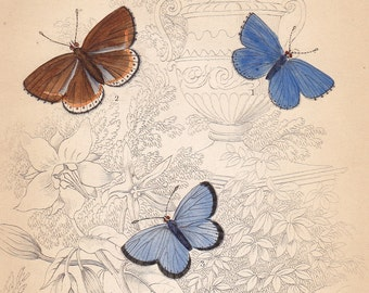Clifden blue, Silver studded blue . Antique Print . original engraving plate 33 . british butterflies vintage art dated 1835