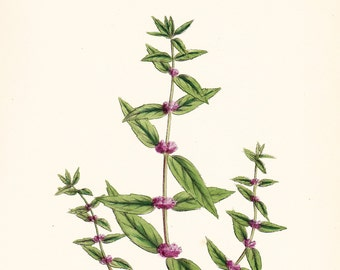 Antique Herb Print . Slender Mint (Mentha gracilis, var. genuina)  . original vintage hand coloured engraving plate dated 1880