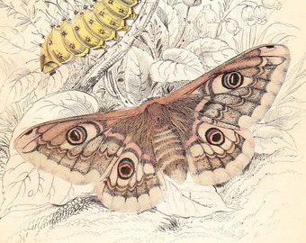 Antique Art Engraving . Emperor Moth, Caterpillar, Oak Egger Moth . Dated 1836 . Old vintage plate moths