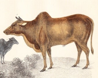 Antique Cattle Print plate XV . original hand coloured engraving . old vintage art circa 1850