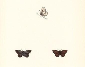 Antique Little Blue Butterfly Print . original woodlblock art dated 1853 . old vintage entomology plate