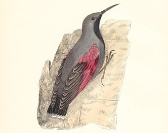 Wall Creeper . Antique Bird Print . original hand coloured woodblock dated 1893 . Old vintage ornithology plate