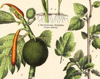 Original Antique Botanical Specimen Print . Schubert plantae plate XLVI dated 1890 vintage old art