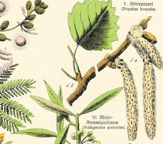 Antique Botanical Print . Schubert plantae plate L . original german chromolithograph vintage art dated 1890