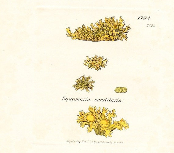 Antique Print . Yellow candle lichen  (lichen candelarius) first edition botanical plate 1794 with original hand colouring dated 1808