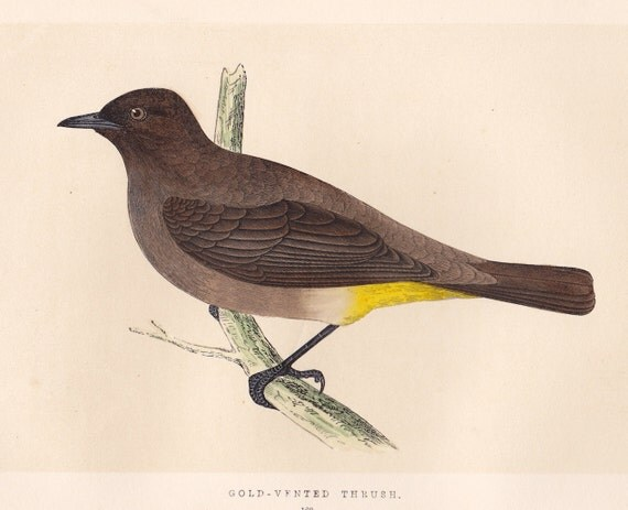 Vintage Gold Vented Thrush print . original antique bird plate woodblock . vol III, dated 1853 old ornithology specimen illustration art