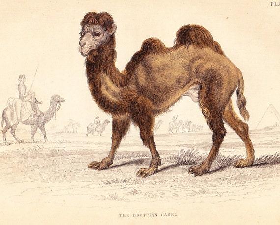 Vintage Camel 93