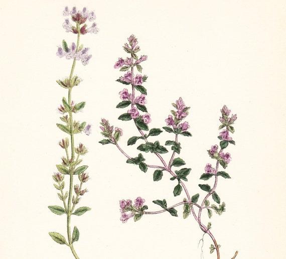 Antique basil thyme print plate calamintha acinos original for Botanical tattoo london
