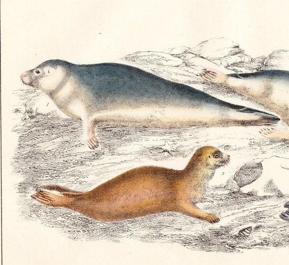 ANTIQUE MAMMALIA PRINT . COMMON SEAL, FETID SEAL . PLATE XLVII . CIRCA 1850 ORIGINAL HAND COLOURED ENGRAVING