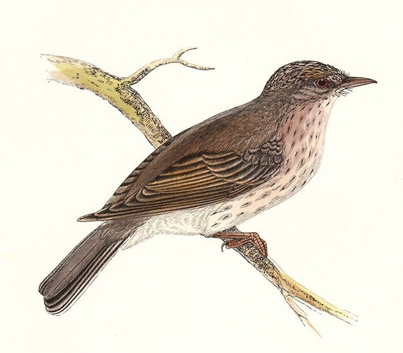Spotted Flycatcher Antique Bird Print  . dated 1895 . original hand coloured woodblock old vintage art plate