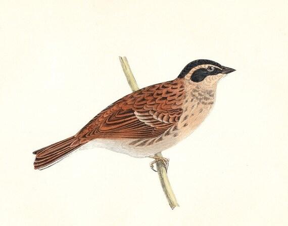 Antique Rustic Bunting Bird Print . original hand coloured woodblock dated 1893 . old vintage ornithology art chart specimen