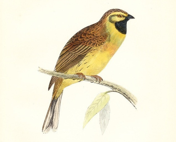Antique Cirl Bunting (French Yellow Hammmer)  Bird Print . original hand coloured woodblock art dated 1893 .  old vintage plate
