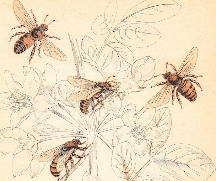 1843 Honey Bee . Apis Ligustica . Antique Entomology Bee Print