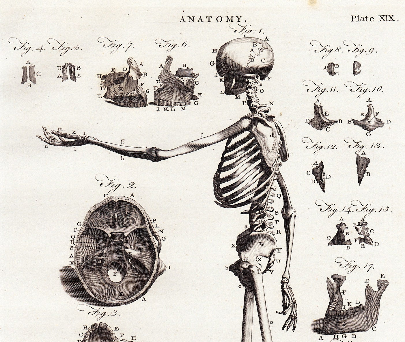 Antique Anatomy Print . Human Skeleton and Skull Side View
