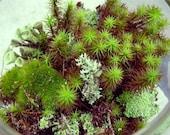 Terrarium kit-Live moss-Small DIY kit -Woodland Forest Fun-Mood moss-Fruiticose lichen mound