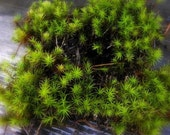 Haircap moss quart bag full-Live Moss-Miniature Tree Forest  for Terrariums- 4 or more sections-Haircap Moss for Shade and Terrariums