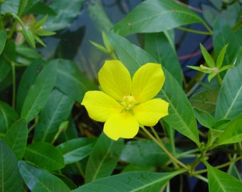 Primrose Creeper - 3 Plants-Floating Pond Plants-Koi Pond Plants-Shipping Spring 2017